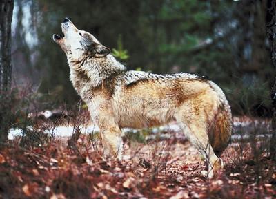 вой волка