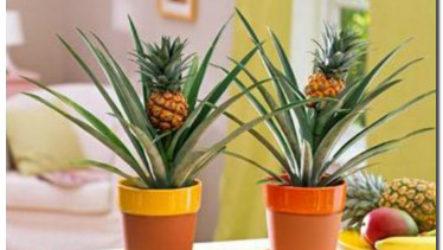 Как вырастить ананас